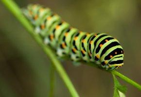 Обои Зеленая гусеница, макро, листик, полосы