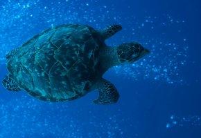 Обои черепаха, красота, коралловый риф, плавники, панцирь