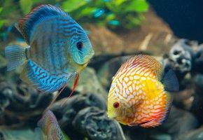 Обои Дискусы, рыба, аквариум, плавники