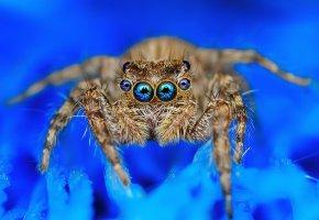Обои паук, глаза, макро, лапки, волосы
