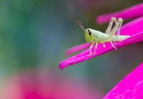 Обои цветок, розовый, лепестки, кузнечик, зелененький