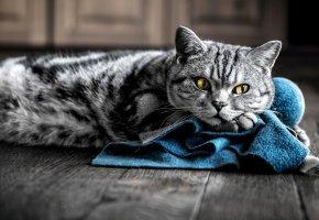 Обои кошка, кот, серый, полосатый, лапы, усы