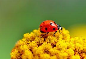Обои жук, божья коровка, макро, цветы, насекомое, ярко