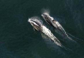 Обои дельфины, пара, море, вода, брызги