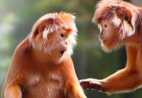 Обои обезьяны, шерсть, лапы, уши, морда