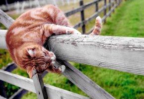 Обои кот, рыжий, полосатый, забор, лапы, усы
