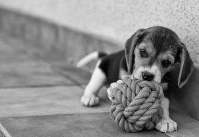 Обои собака, бигль, щенок, друг, красота, нежность, радость