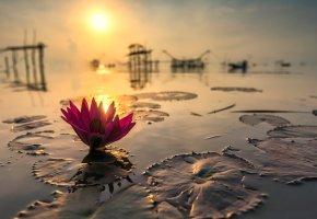 Обои пруд, водоем, вода, отражение, лотос, цветок, закат, вечер