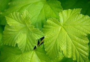Обои листья, лист, зелёные, виноград