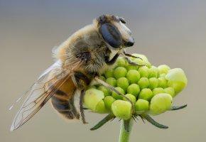Обои насекомое, травинка, фон, пчела, муха, крылья