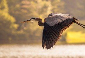 Обои птица, полет, аист, лапы, перья, крылья, клюв