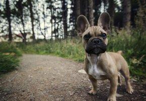 Обои собака, взгляд, друг, лапы, уши, морда