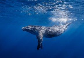 Обои Горбатый кит, горбач, длиннорукий полосатик, океан, вода, свет