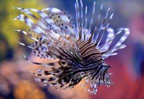 Обои рыба, крылатка, красота, плавники, океан, жабры