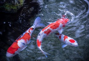 Обои плавники, японский карп, кои, пятна, рыбы, вода, разводы