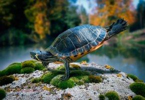 Обои черепаха, лапы, голова, панцирь, акробат