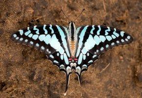 Обои бабочка, макро, крылья, усики, раскраска