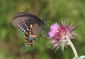Обои цветок, растение, бабочка, насекомое, крылья, природа
