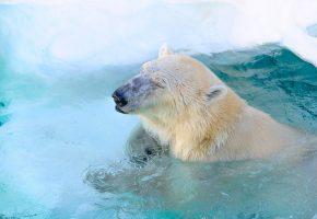 Обои белый медведь, полярный медведь, хищник, зоопарк, морда, бассейн, купание,  ...