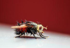 Обои насекомое, муха, крылья, глаза, голова, лапки, волосинки, макро