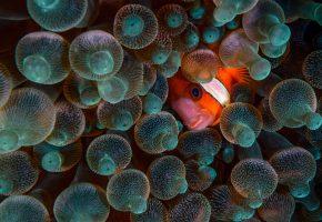 Обои рыба, клоун, актинии, глаз, морская жизнь