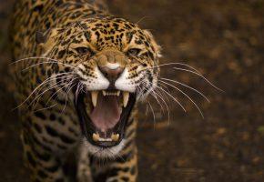 Обои усы, пасть, ягуар, оскал, хищник, дикая кошка