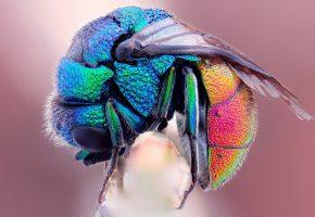 Обои муха, радужная, цвета, крылья, волоски, макро, лапки
