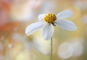 Обои ромашка, красота, цветок, лепестки, белые