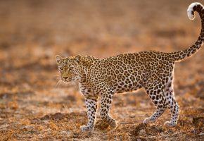 Обои леопард, глаза, хвост, поле, пятна, лапы