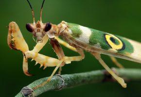 Обои насекомое, богомол, взгляд, усы, лапы, крылья