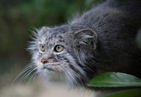 Обои кот, взгляд, охотник, усы, шерсть, камышовый