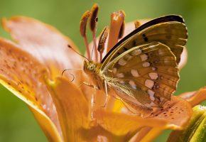Обои бабочка, крылья, усики, пыльца, хоботок, цветок