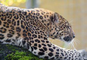 Обои леопард, дикая кошка, хищник, пятна, профиль, зоопарк