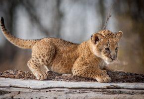 Обои взгляд, кошка, львенок, лапы, хвост, играется