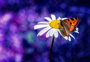 Обои ромашка, бабочка, крылья, усики, пыльца, макро