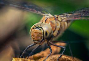 Обои стрекоза, насекомое, крылья, голова, глаза, лапки