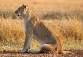 Обои лев, сидит, хвост, лапы, охотник