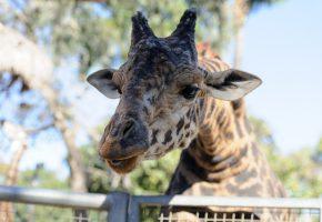 Обои жираф, морда, портрет, пятна, свет, зоопарк