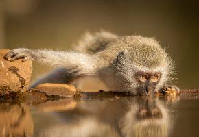 Обои Южная Африка, Зиманга, обезьяна, водопой, взгляд