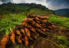 Обои морковь, оранжевая, земля, ботва, макро