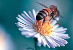 Обои цветок, лепестки, растение, насекомое, пчела