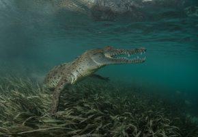 Обои крокодил, под водой, пасть, зубы, лапы, дно