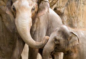 Обои Слоны, мать, детеныш, преданность, забота, близость, радость, любовь