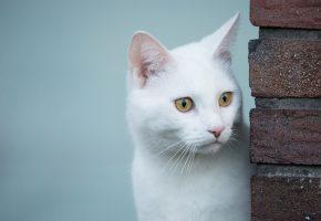 Обои белая кошка, белый кот, взгляд, глаза, усы, нос