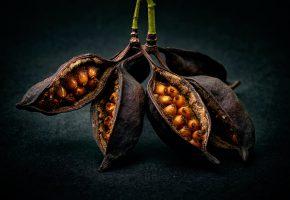 Обои плоды, семена, макро, растение