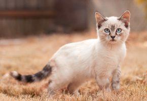 Обои кошка, взгляд, фон, уши, лапы, хвост