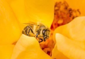 Обои пчела, насекомое, цветок, макро