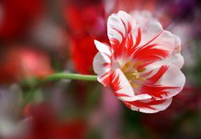Обои тюльпан, лепестки, стебель, красота