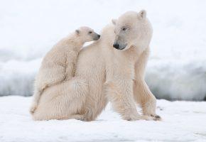 Обои медведи, белые, снег, север, зима, мех, полярные