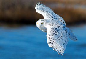 Обои полярная сова, белая сова, птица, крылья, полёт